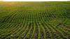 Spring wheat on a hillside