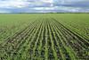 Barley field east of John Perrett farm, south of Arden MB.