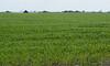 June weed control in a grain crop