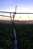 Pivot irrigation system operating at dusk in southern Manitoba. Note wheel path through potato field