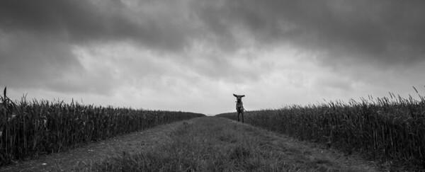 A hungarian Vizsla jumps for joy, Offor Darcy, Cambridgeshire