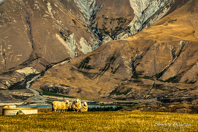 Sheep farming the Southern Alps
