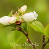 Gaylussacia dumosa, Dwarf Huckleberry; Burlington County, New Jersey 2014-05-05   3