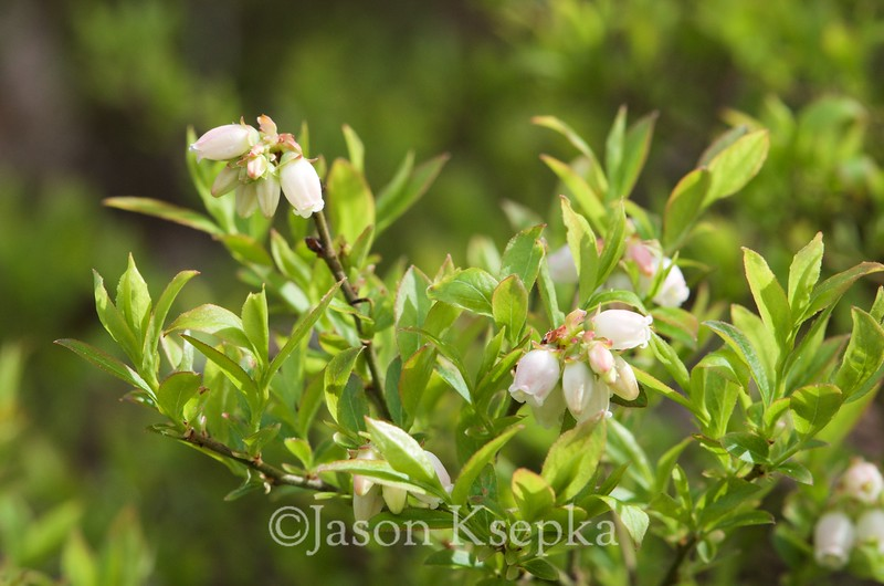 Gaylussacia dumosa, Dwarf Huckleberry; Burlington County, New Jersey 2014-05-05   6