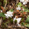 Epigaea repens, Trailing Arbutus; Cumberland County, New Jersey 2015-04-21   2
