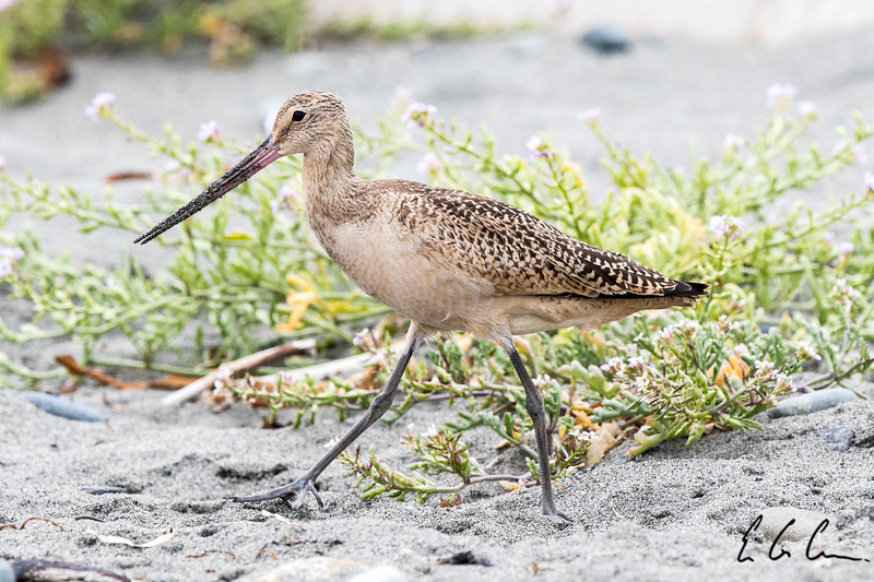 Marbled Godwit, Point Wilson, Port Townsend.