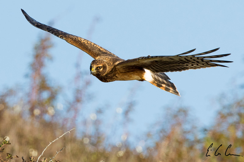 Northern Harrier, female.