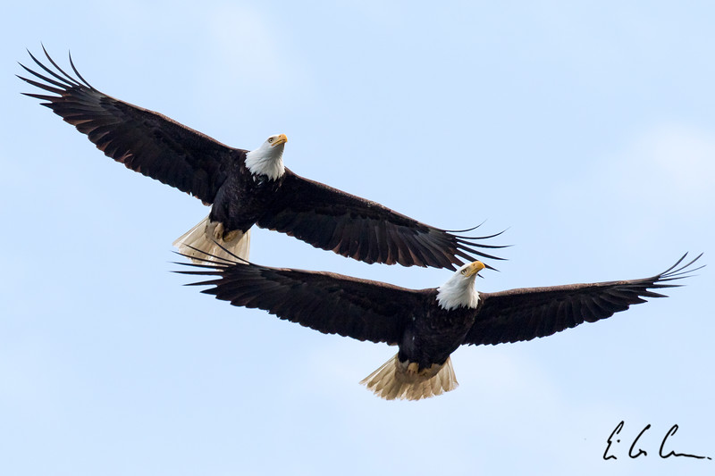 Bald Eagle pair.