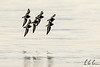 Black Turnstones.