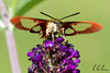 Hummingbird Clearwing Moth