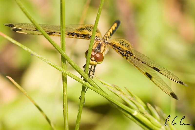 Dragonfly, Middlesex Fells Reservation, Boston, MA Eric Carr Wildlife stock photography.