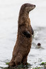River Otter at Point Hudson, Port Townsend, WA.