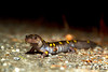 Spotted salamander, (Ambystoma maculatum), New Hampshire.<br /> Eric Carr Wildlife Stock Photography.