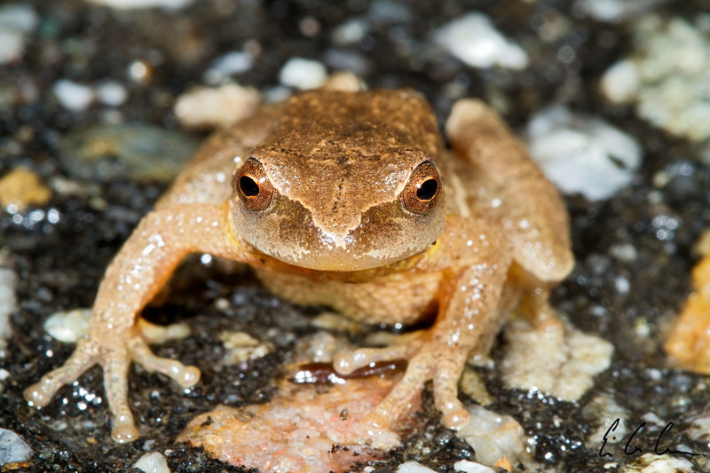 "Spring Peeper, (Pseudacris crucifer) ""Big Night"" April 11, 2011. Claremont, New Hampshire.  Eric Carr Wildlife Stock Photography"