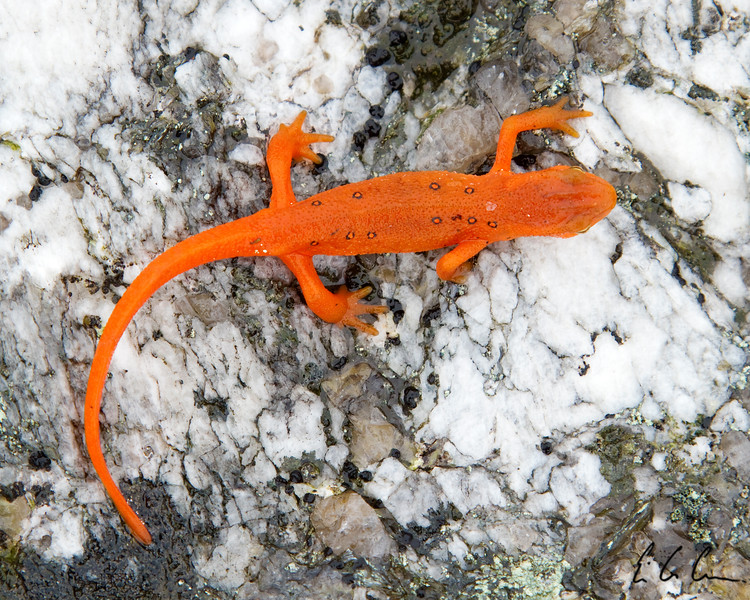Eastern/Red-spotted Newt, (Notophthalmus viridescens) Cardigan Mountain, New Hampshire.<br /> Eric Carr Wildlife Stock Photography