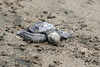 Baby Olive Ridley, (Lepidochelys olivacea), sea turtle on the Pacific coast of Costa Rica.<br /> Eric Carr wildlife stock photography.