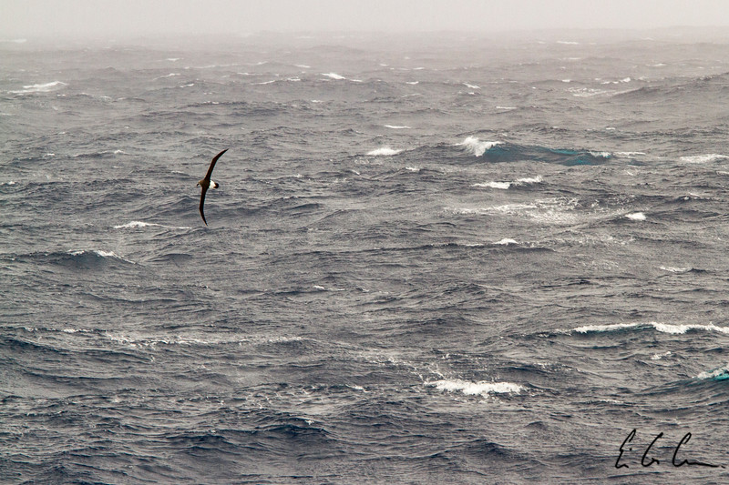 Albatross, Drake Passage.