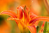 Day lily close-up.<br /> Eric Carr macro stock photography.