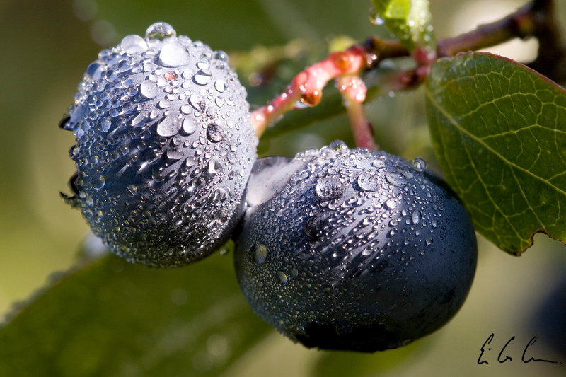 Blueberries covered with morning dew.  Eric Carr macro stock photography.