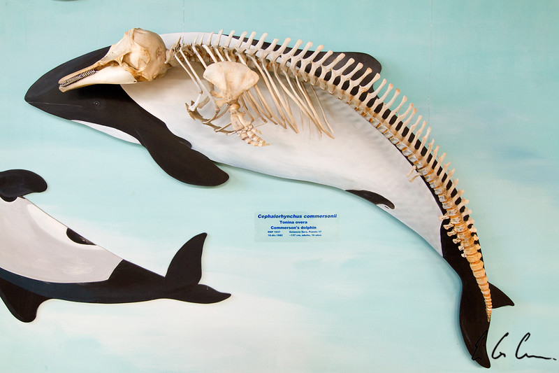 Commerson's Dolphin Skeleton
