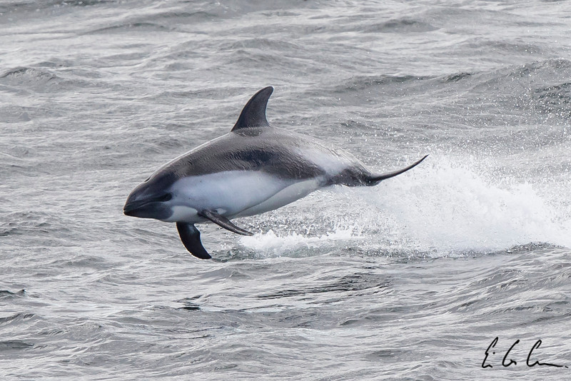 Peale's dolphin, Drake Passage.