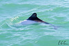 Commerson's Dolphin