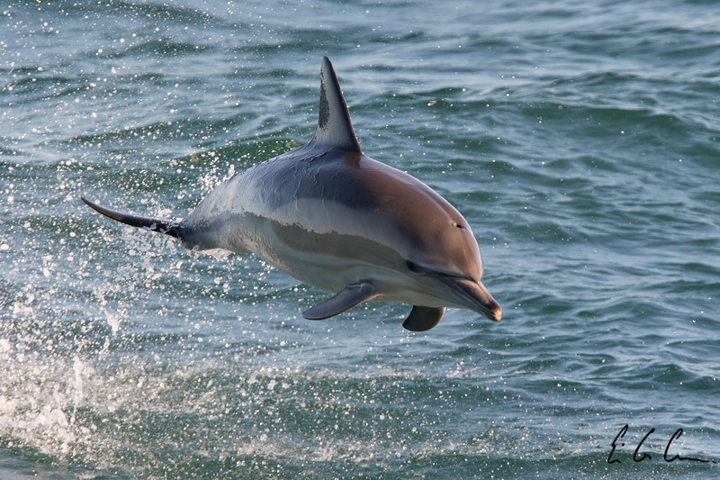 Short-beaked Common Dolphin, offshore Argentina.