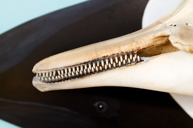Commerson's Dolphin Skeleton Showing Teeth Closeup
