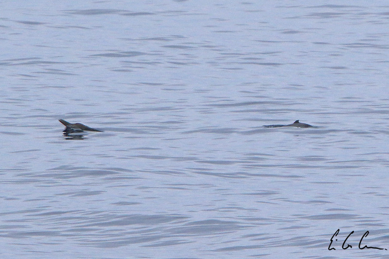 Strap-toothed beaked whale, Mesoplodon layardii, adult and calf. Drake passage. Eric Carr wildlife stock photography.