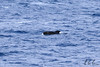 Long-finned pilot whale (Globicephala melas), Drake Passage, Eric Carr, Wildlife stock photography.