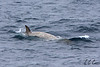 Southern bottlenose whale (Hyperoodon planifrons) Drake Passage, Eric Carr Wildlife stock photography.