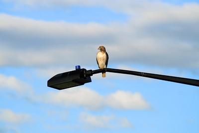 Hawk-001