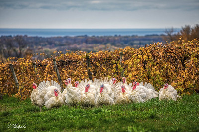 White Turkeys