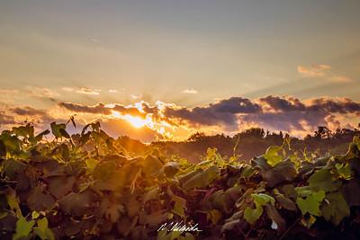 Sunrise on Grapevineyards