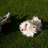 Elizabeht Kilpatrick, 4, of San Diego, CA, rolls on the grass of the Bestor Plaza with Tyrion, a maltese named after a Game of Thrones character on Monday, June 19, 2017.
