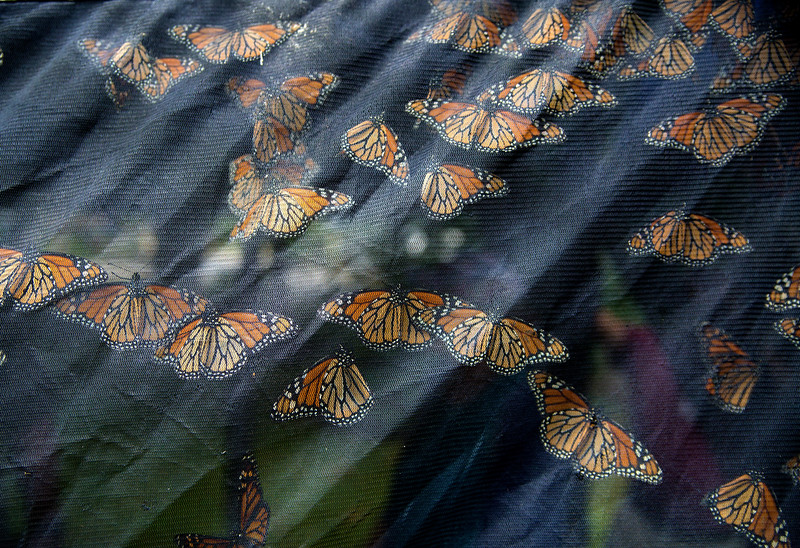 Butterflies in the tent at the Monarchpaloosa in Lincoln Park on Thursday, July 13, 2017. ERIN CLARK / STAFF PHOTOGRAPHER