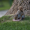 A squirrel munches on a blueberry bagel on the grounds of the Chautauqua Lake on Wednesday, June 14, 2017. ERIN CLARK / STAFF PHOTOGRAPHER