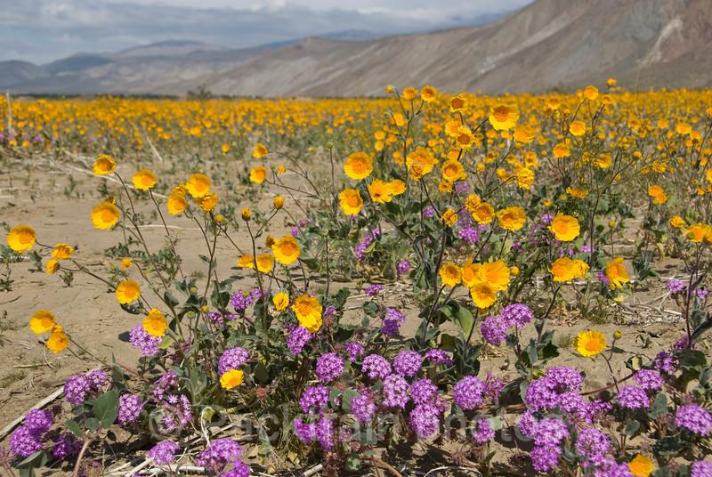 Henderson Canyon Flower Field  - HCFF1