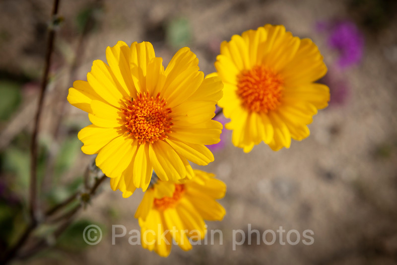 Desert Sunflower trio   -  DST1