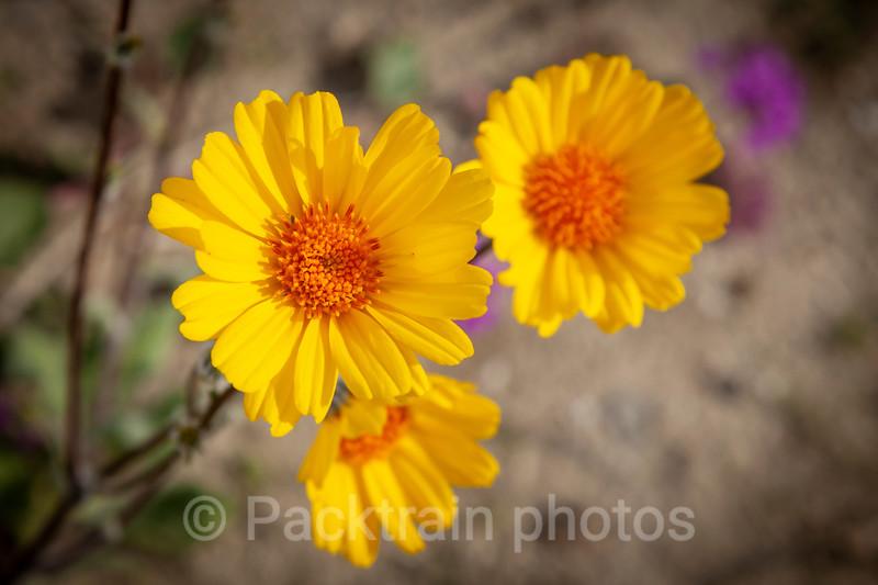 Desert Sunflower trio   -  DST1