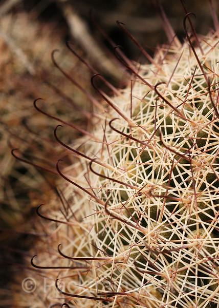 Fishhook Cactus Needle Abstract  -  FCN1