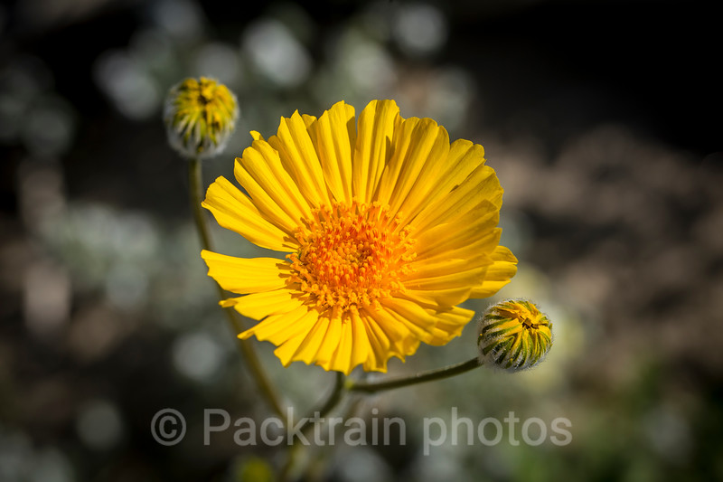 Desert Sunflower  - DS2