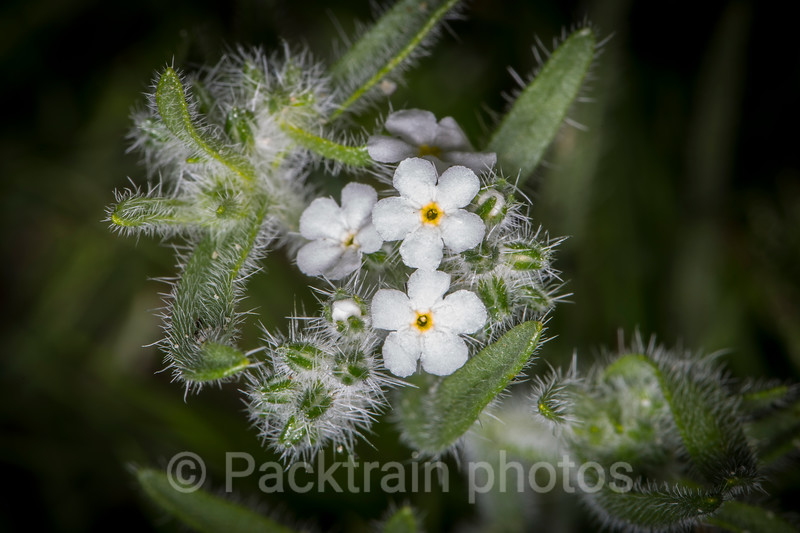 Popcorn Flower  - PF1