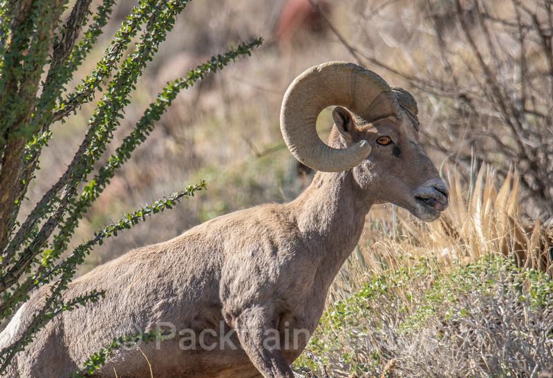 Ram Portrait  - RP2