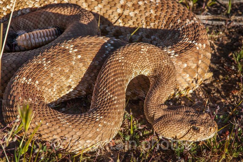 Rattlesnake  -  RS1