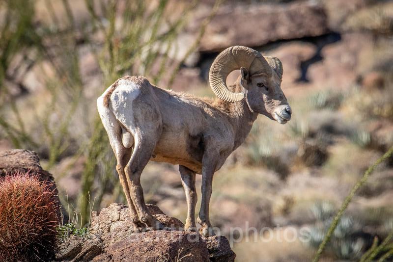 Poised Bighorn Ram   - PBR3