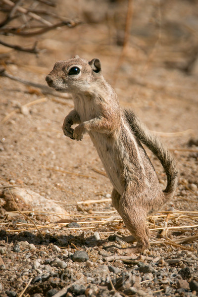 Ground Squirrel - GS1