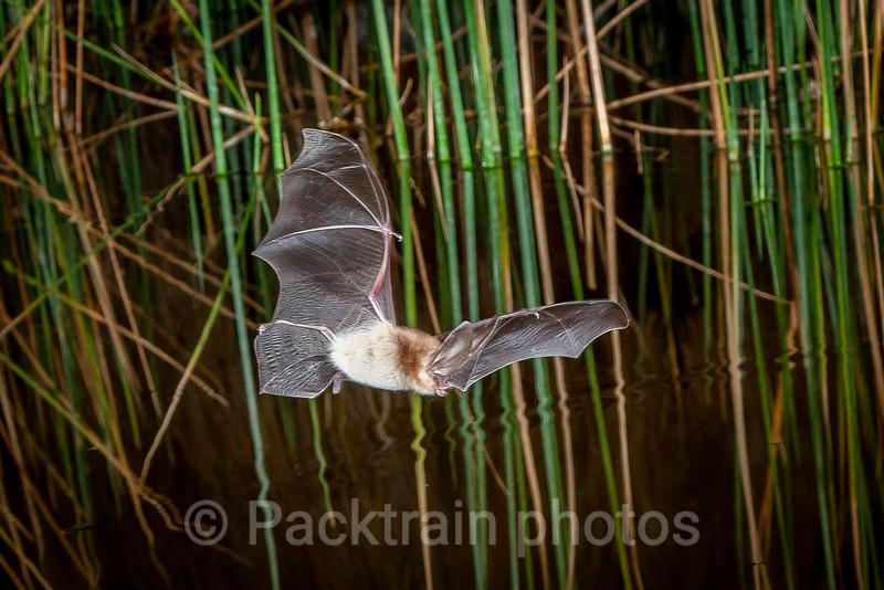 Desert Bat  - DB4