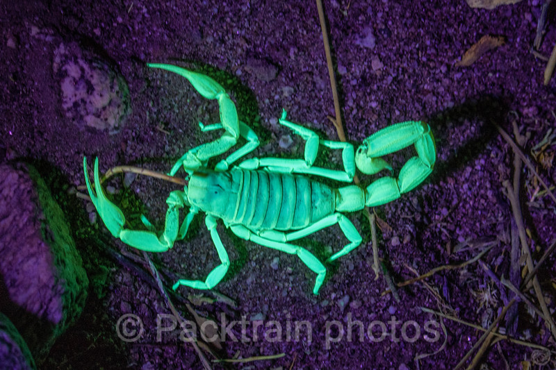 Scorpion  - SC1