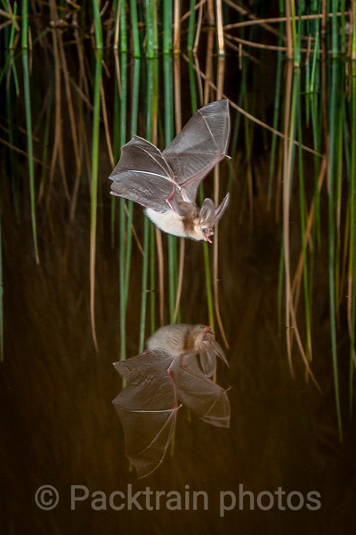 Desert Bat Reflection   - DBR2